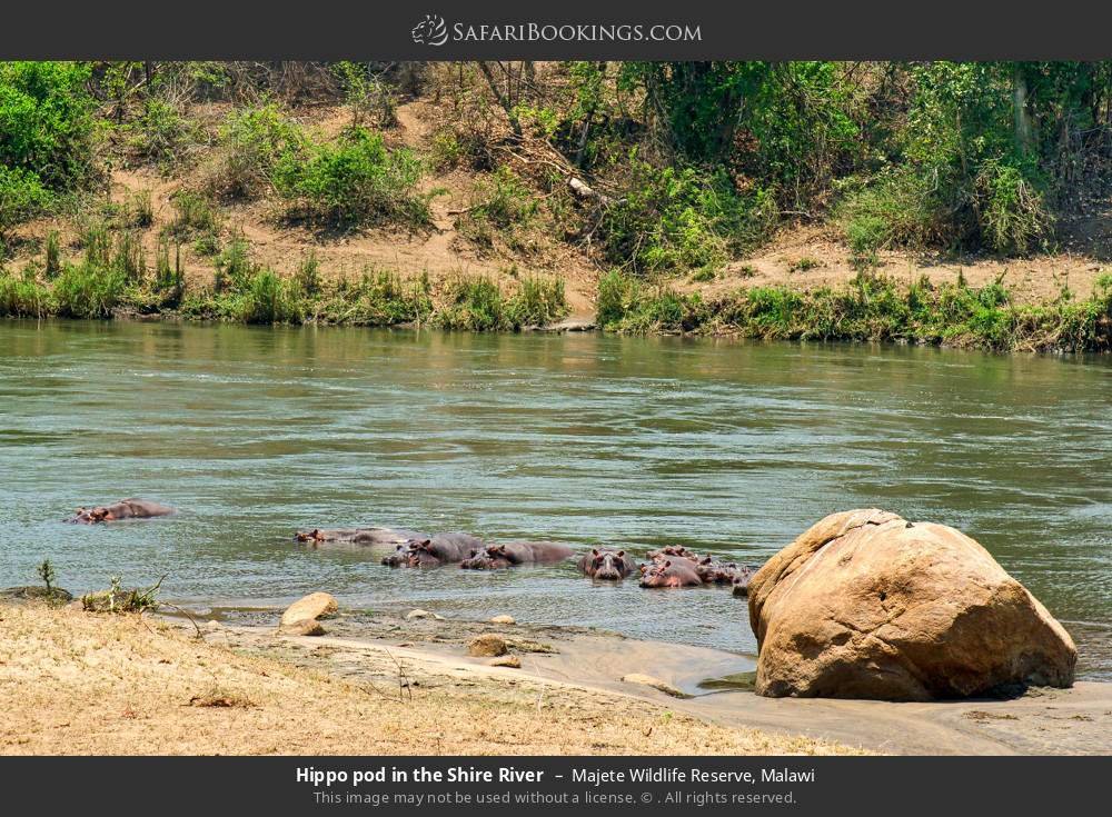 Hippo pod in the Shire River in Majete Wildlife Reserve, Malawi