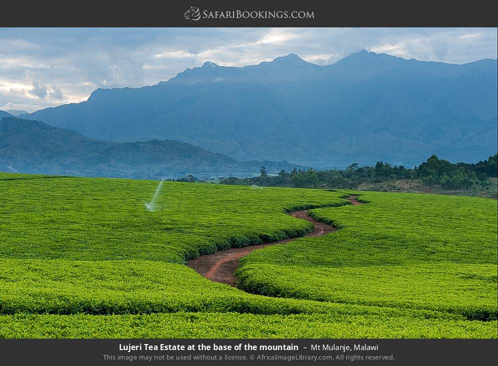 Lujeri tea estate at the base of the mountain in Mount Mulanje, Malawi
