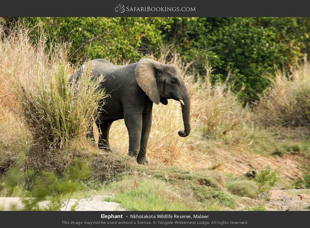 Elephant in Nkhotakota Wildlife Reserve, Malawi