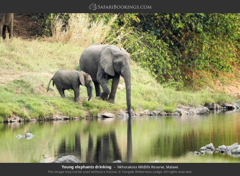 Young elephants drinking in Nkhotakota Wildlife Reserve, Malawi