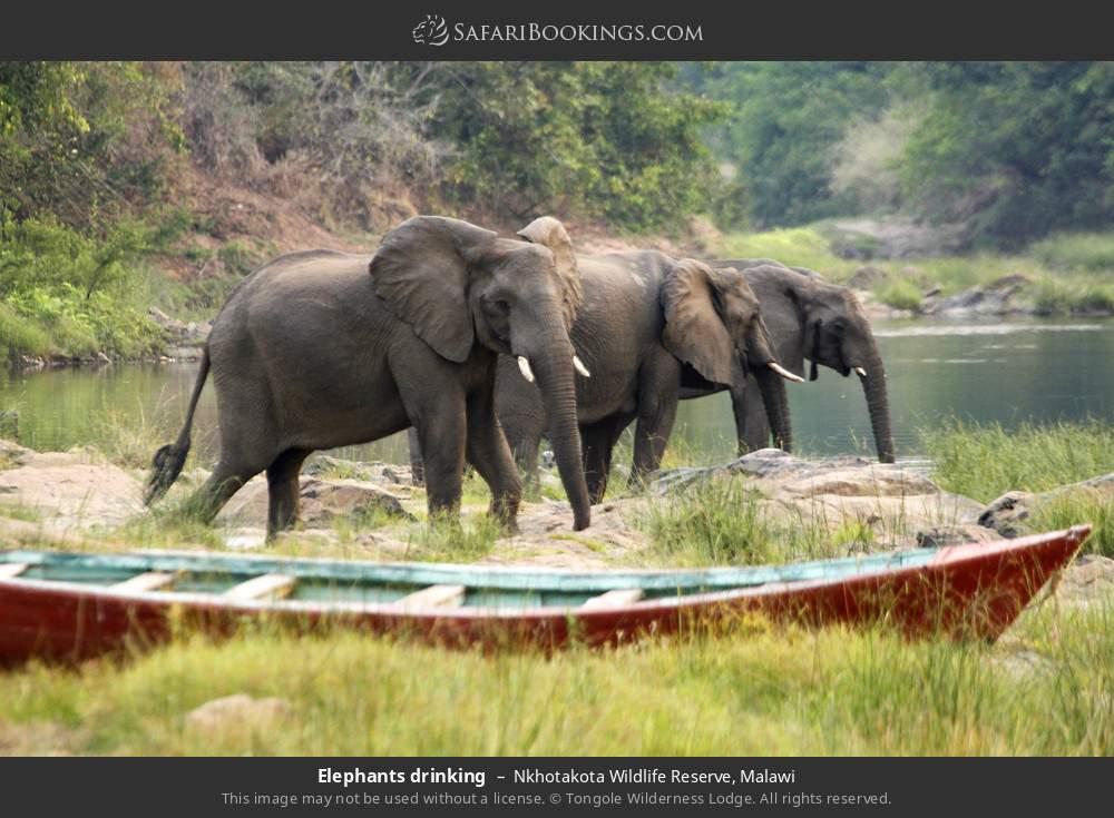 Elephants drinking in Nkhotakota Wildlife Reserve, Malawi