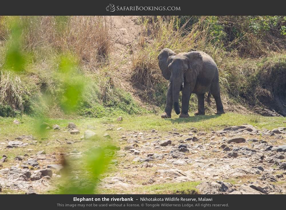 Elephant on the river bank in Nkhotakota Wildlife Reserve, Malawi
