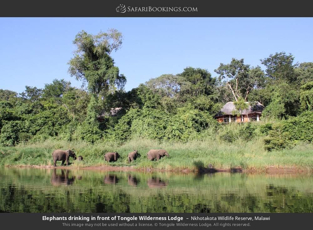 Elephants drinking in front of Tongole Wilderness Lodge in Nkhotakota Wildlife Reserve, Malawi