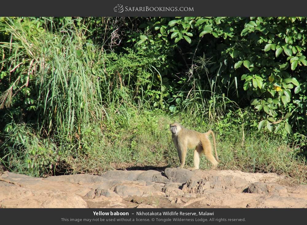 Yellow baboon in Nkhotakota Wildlife Reserve, Malawi