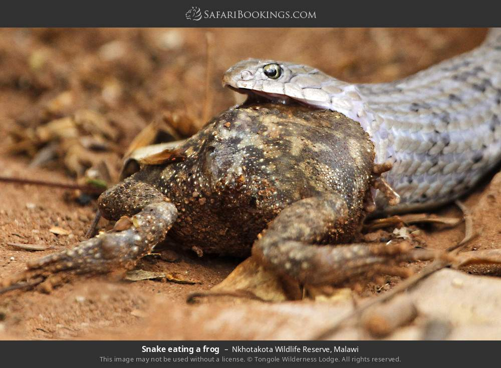Snake eating a frog in Nkhotakota Wildlife Reserve, Malawi