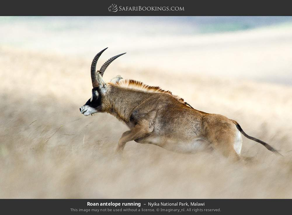 Roan antelope running in Nyika National Park, Malawi