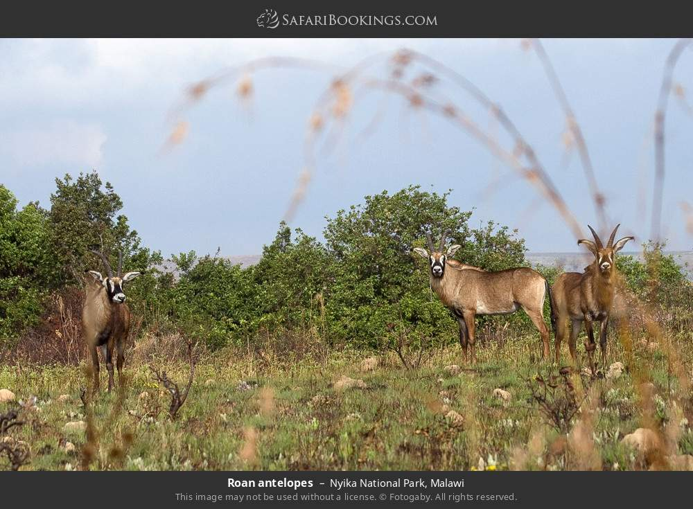 Roan antelopes in Nyika National Park, Malawi