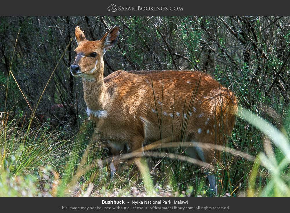 Bushbuck in Nyika National Park, Malawi