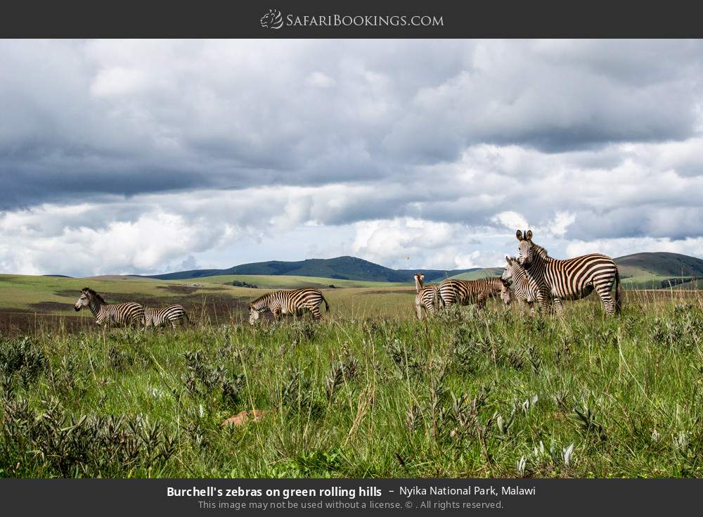 Burchell's zebras on green rolling hills in Nyika National Park, Malawi