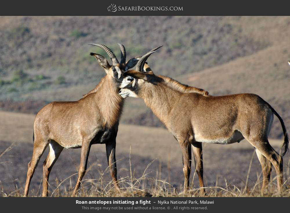 Roan antelopes initiating a fight in Nyika National Park, Malawi