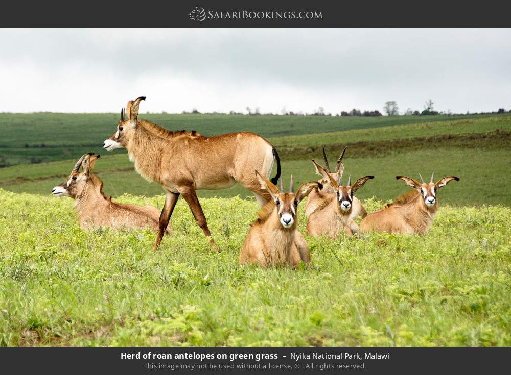 Herd of roan antelopes on green grass in Nyika National Park, Malawi