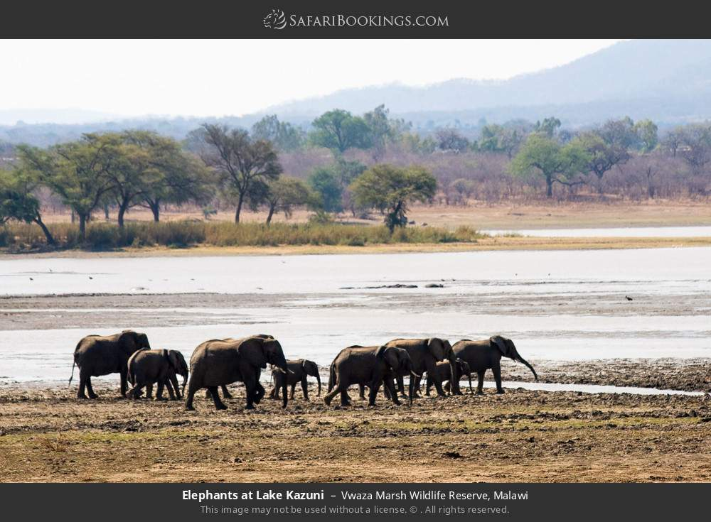 Elephants at Lake Kazuni in Vwaza Marsh Wildlife Reserve, Malawi