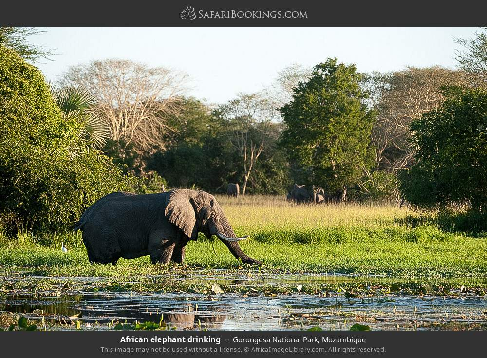 African elephant drinking in Gorongosa National Park, Mozambique