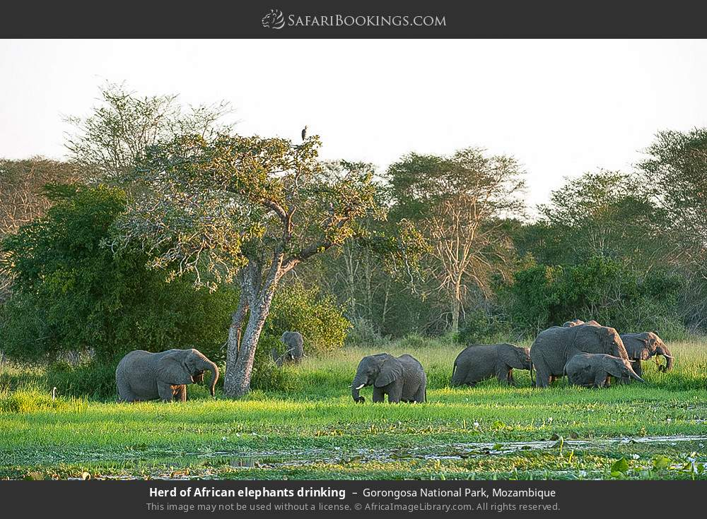 Herd of African elephants drinking in Gorongosa National Park, Mozambique