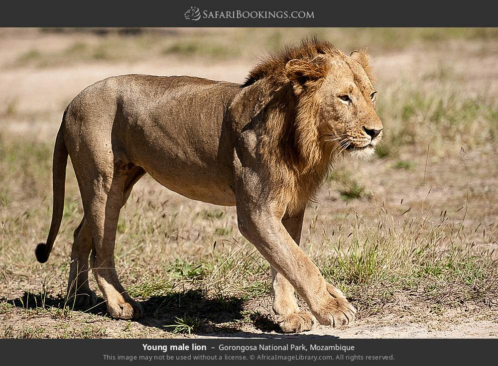 Young male lion in Gorongosa National Park, Mozambique