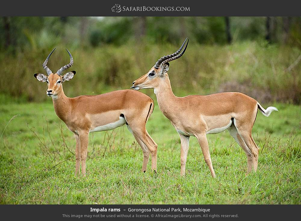 Impala rams in Gorongosa National Park, Mozambique