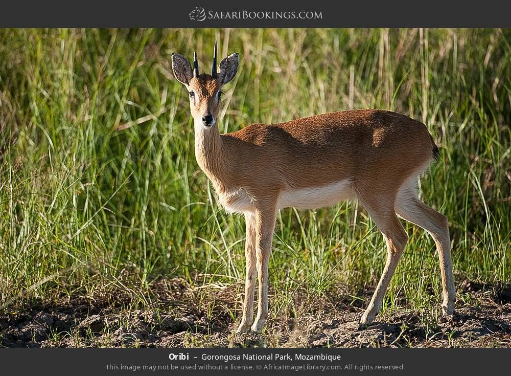 Oribi in Gorongosa National Park, Mozambique