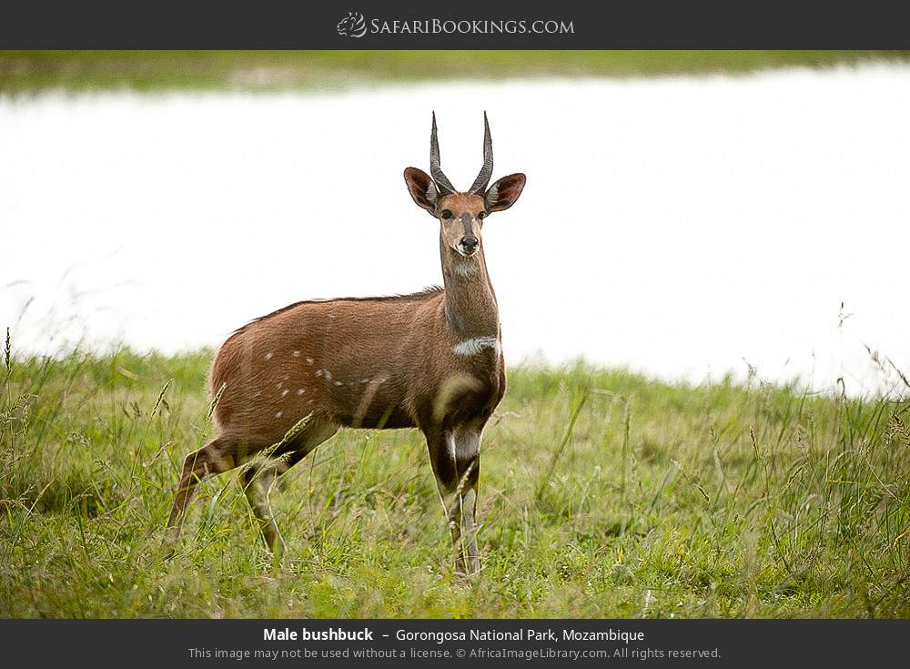 Male bushbuck in Gorongosa National Park, Mozambique