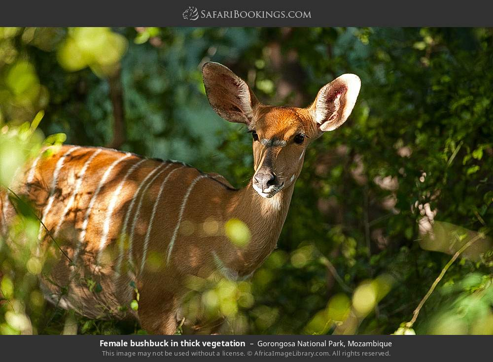Female bushbuck in thick vegetation in Gorongosa National Park, Mozambique