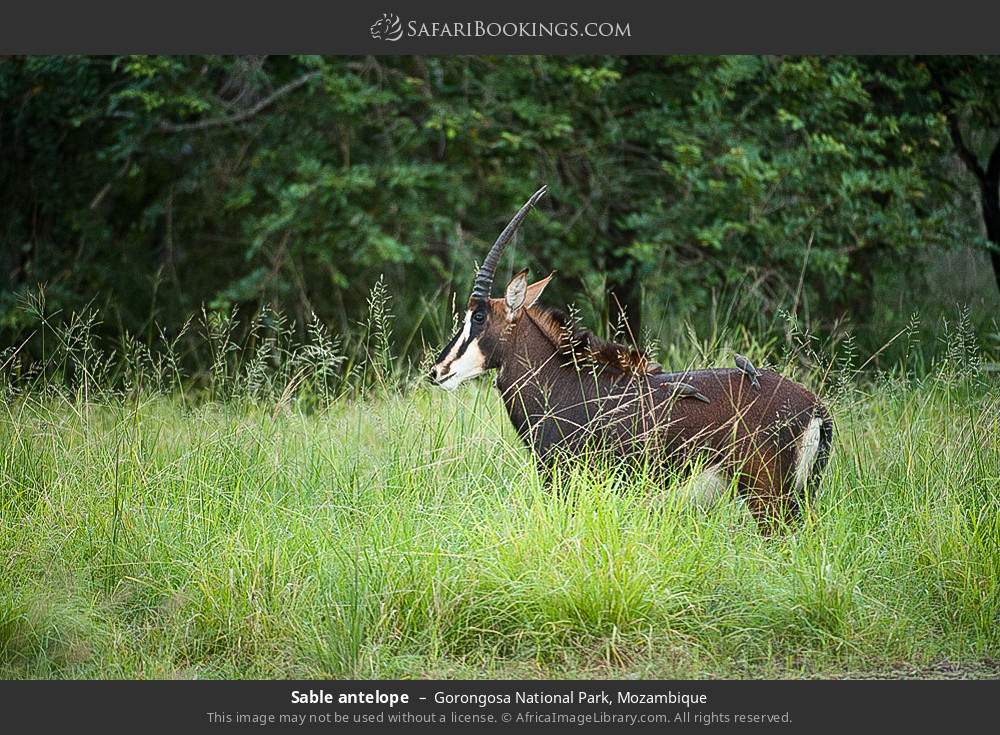 Sable antelope in Gorongosa National Park, Mozambique
