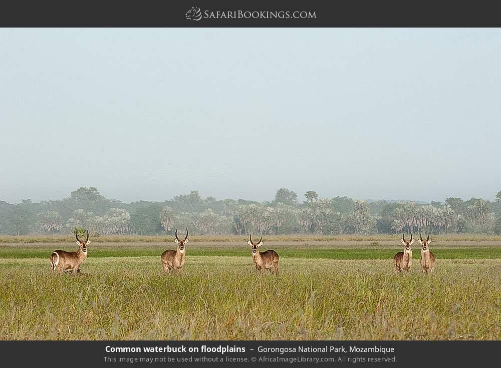Common waterbuck on floodplains in Gorongosa National Park, Mozambique