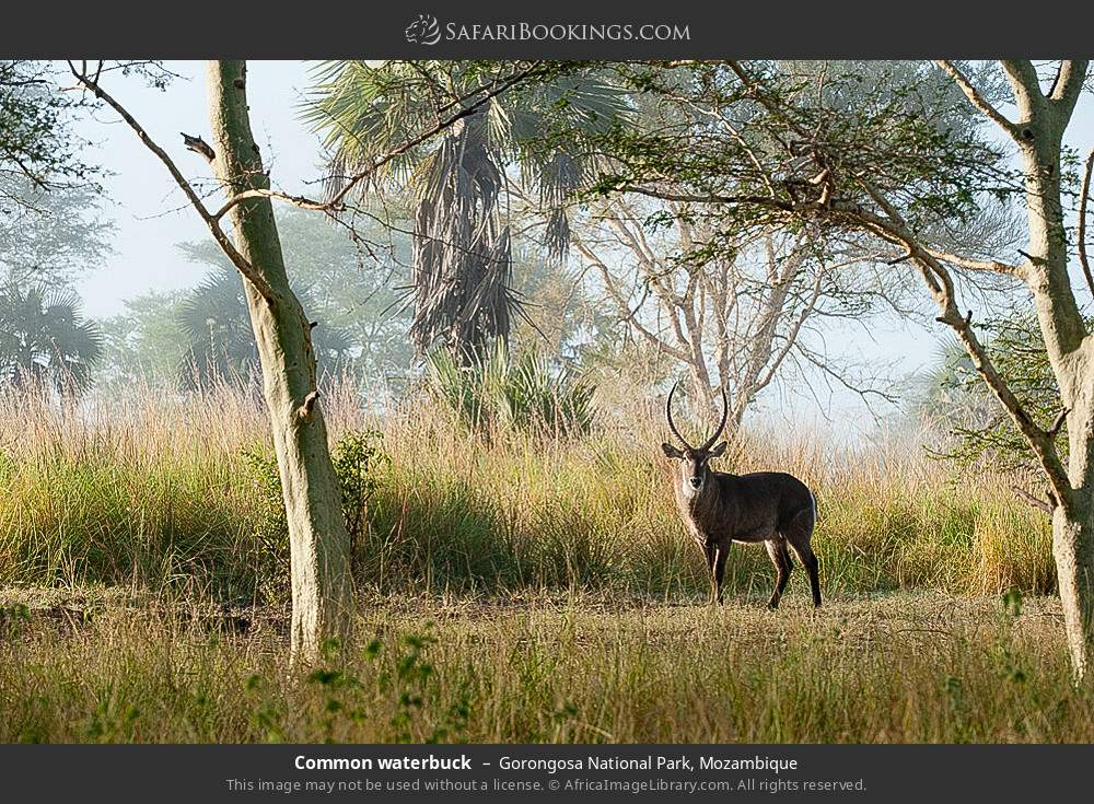 Common waterbuck in Gorongosa National Park, Mozambique