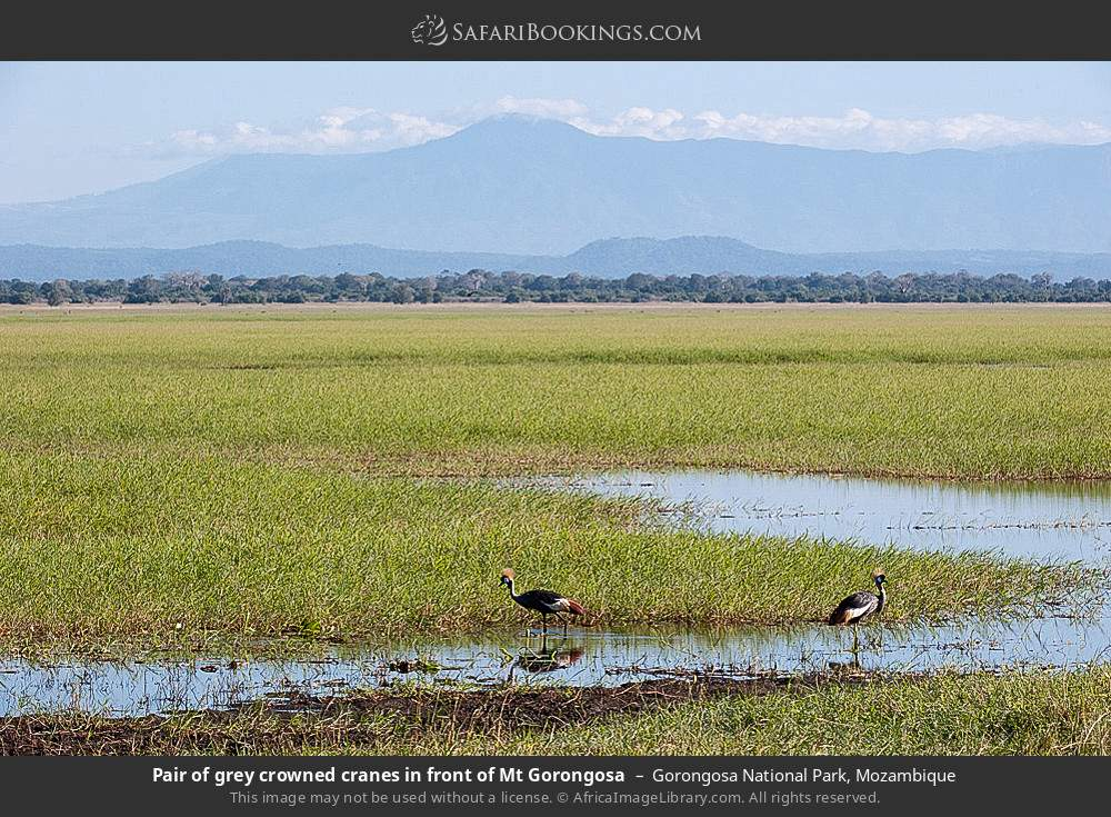 Pair of grey crowned cranes in front of Mount Gorongosa in Gorongosa National Park, Mozambique