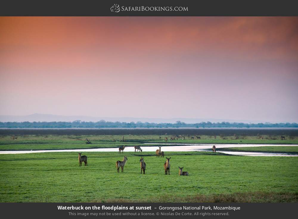 Waterbuck on the flood plains at sunset in Gorongosa National Park, Mozambique