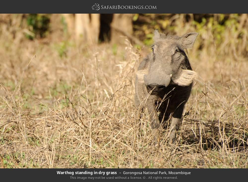 Warthog standing in dry grass in Gorongosa National Park, Mozambique