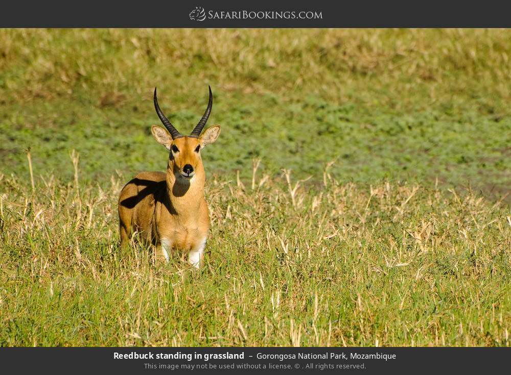 Reedbuck standing in grassland in Gorongosa National Park, Mozambique