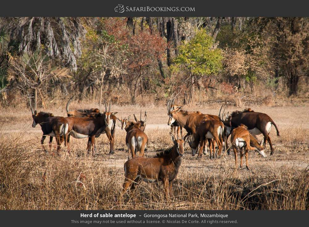 Herd of sable antelope in Gorongosa National Park, Mozambique