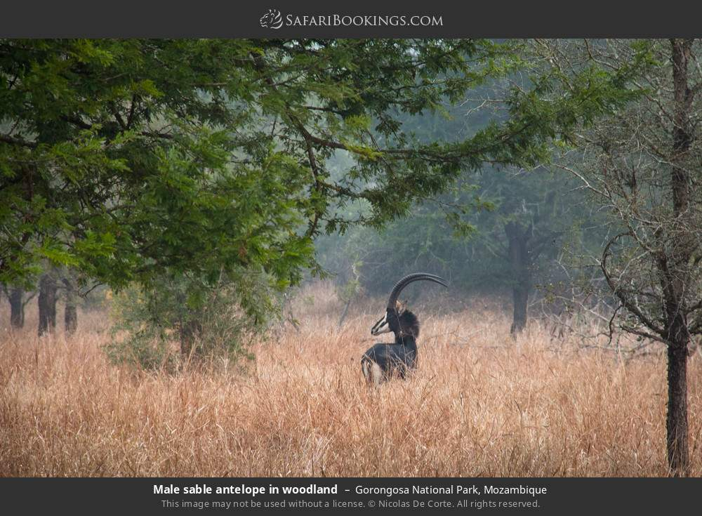 Male sable antelope in woodland in Gorongosa National Park, Mozambique