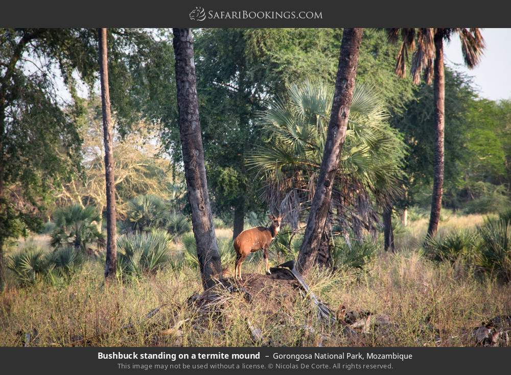 Bushbuck standing on a termite mound in Gorongosa National Park, Mozambique