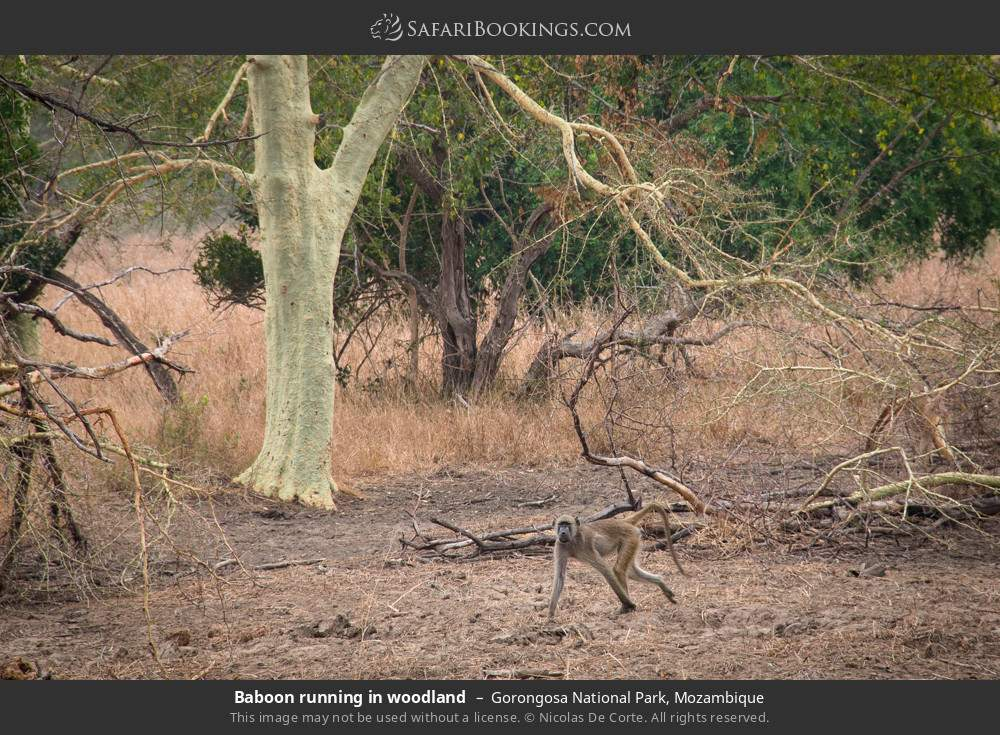 Baboon running in woodland in Gorongosa National Park, Mozambique