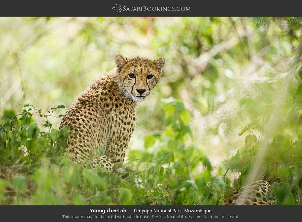 Young cheetah in Limpopo National Park, Mozambique
