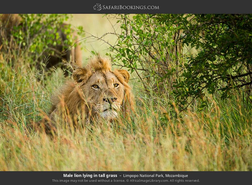 Male lion lying in tall grass in Limpopo National Park, Mozambique