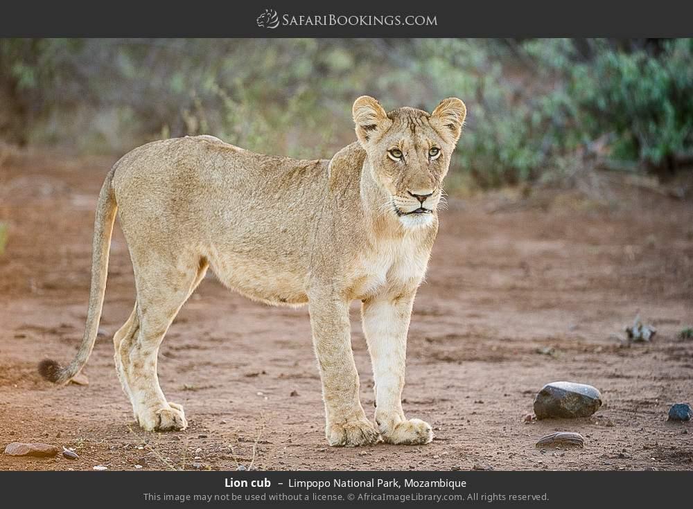 Lion cub in Limpopo National Park, Mozambique
