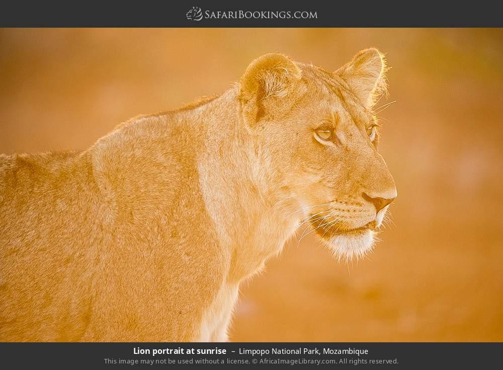 Lion portrait at sunrise in Limpopo National Park, Mozambique