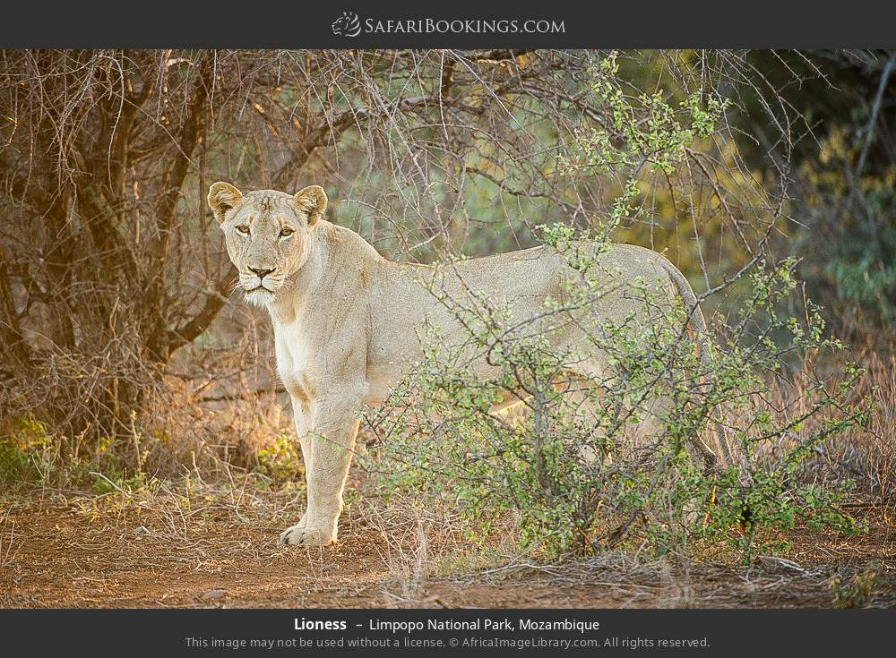 Lioness in Limpopo National Park, Mozambique