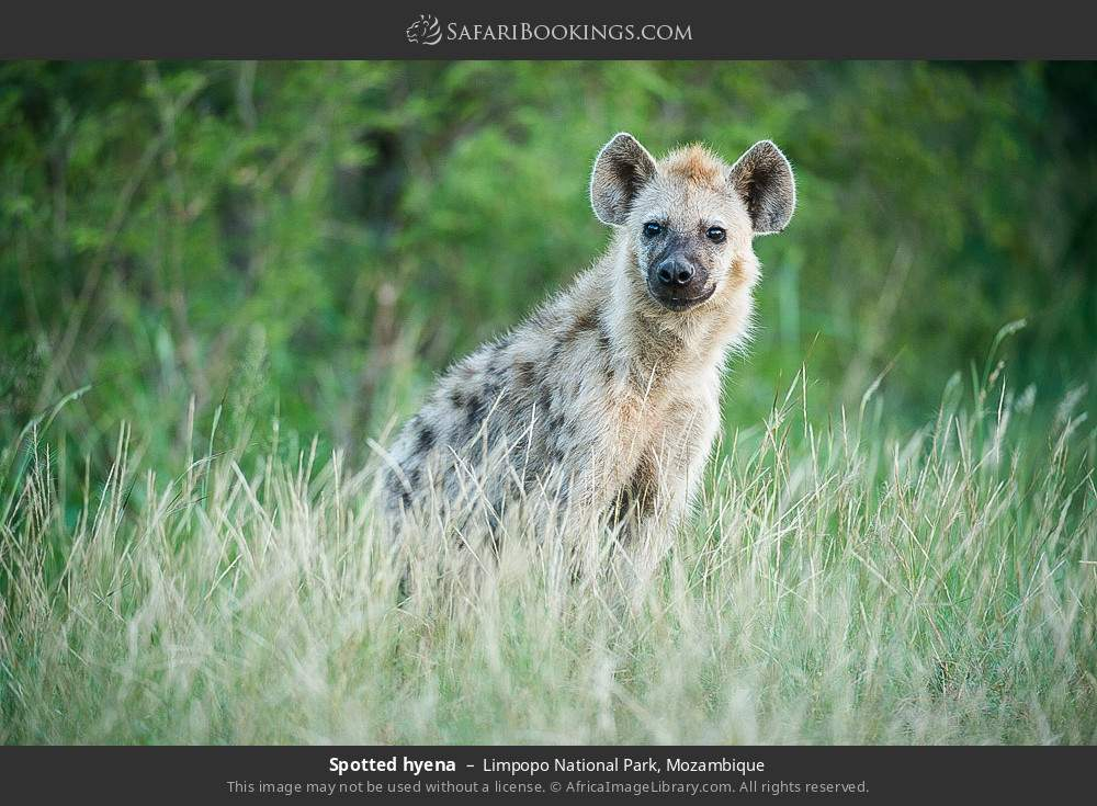 Spotted hyena in Limpopo National Park, Mozambique