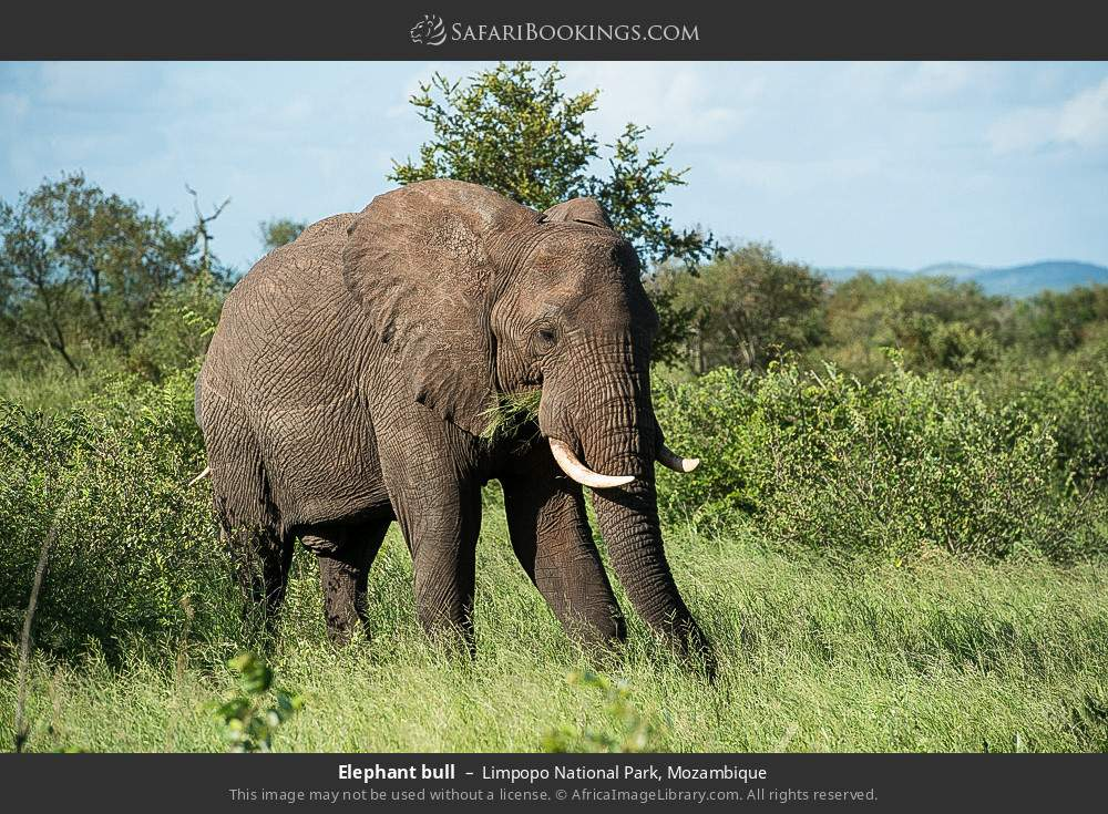 Elephant bull in Limpopo National Park, Mozambique
