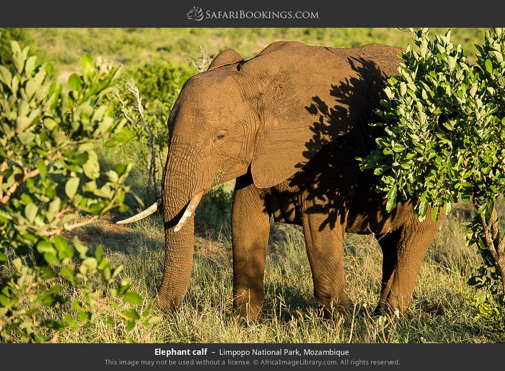 Elephant calf in Limpopo National Park, Mozambique
