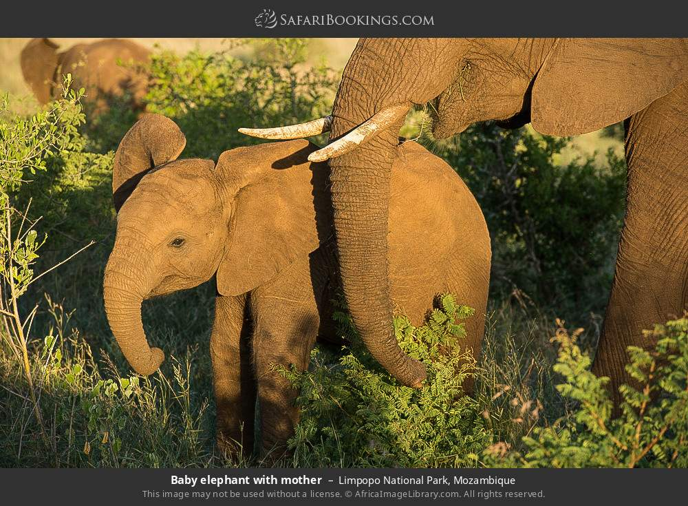 Baby elephant with mother in Limpopo National Park, Mozambique