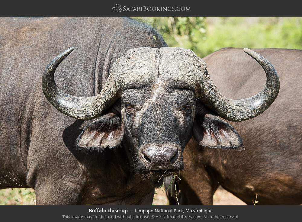Buffalo close-up in Limpopo National Park, Mozambique