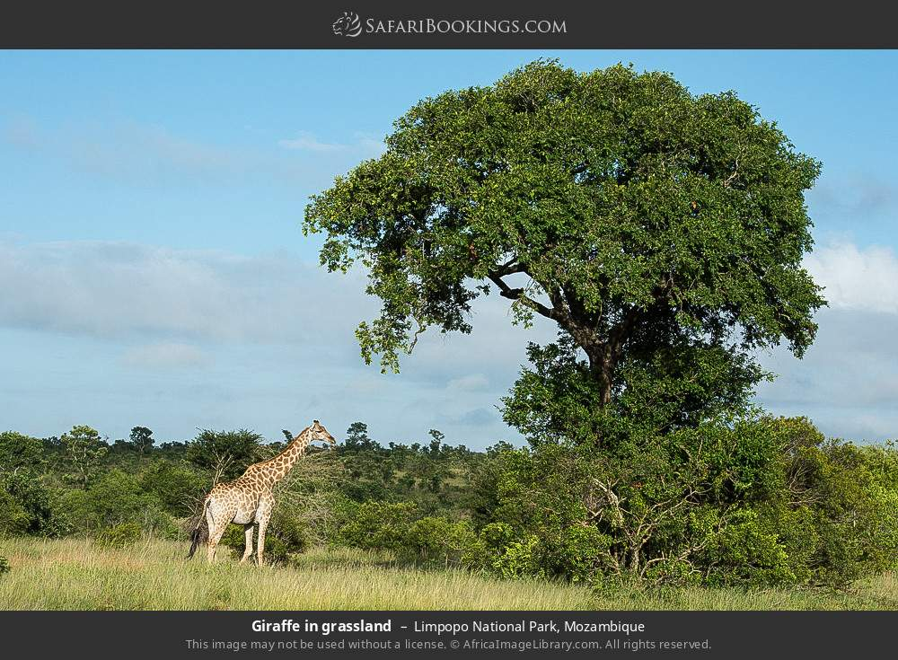 Giraffe in grassland in Limpopo National Park, Mozambique