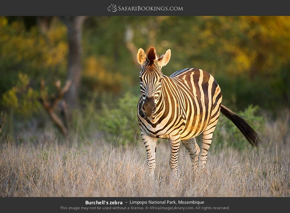 Burchell's zebra in Limpopo National Park, Mozambique