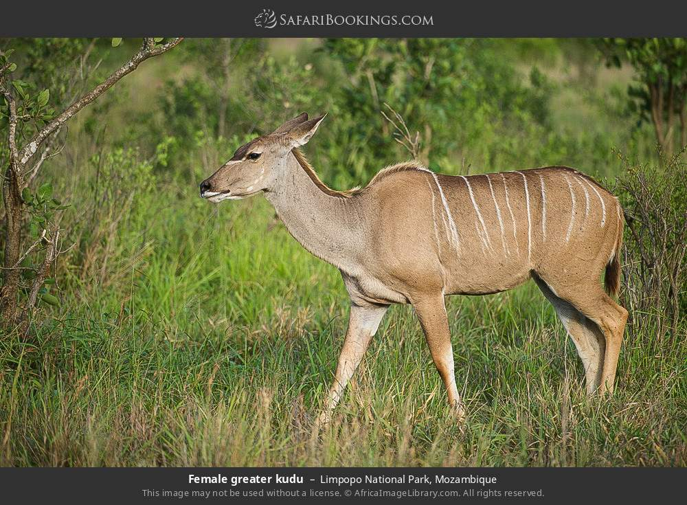 Female greater kudu in Limpopo National Park, Mozambique
