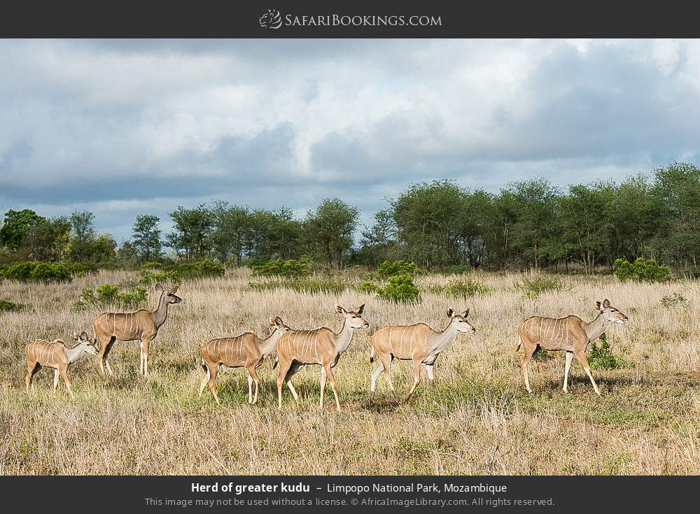 Herd of greater kudu in Limpopo National Park, Mozambique