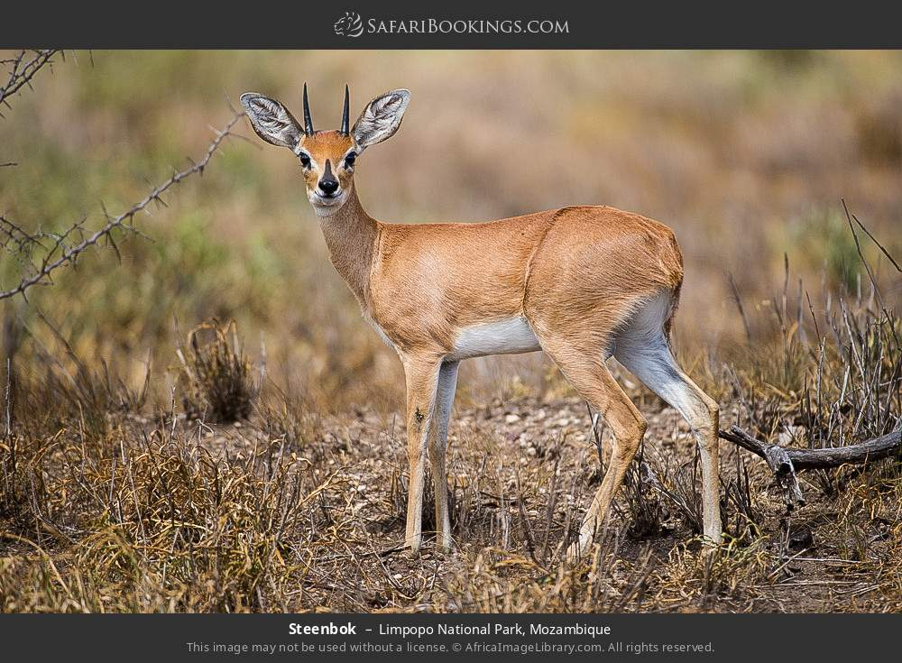 Steenbok in Limpopo National Park, Mozambique
