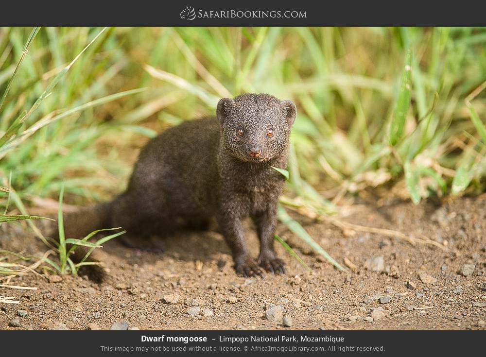 Dwarf mongoose in Limpopo National Park, Mozambique